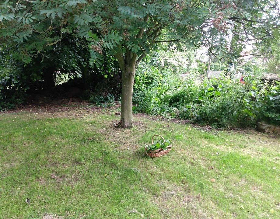 garden corner of edible weeds