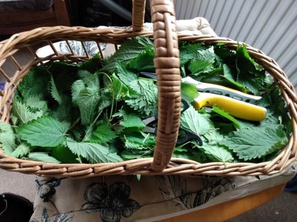 willow basket full of freshly picked nettle leaves