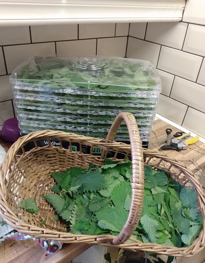 dehydrator full of nettle leaves with the basket still more than half full to go
